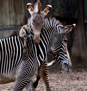 Kito_Zebra Colt at the Lincoln Park Zoo-8381-2