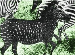 Zebra spots